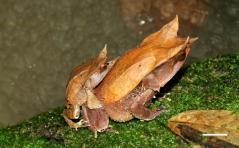 Megophrys
