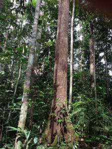 tree_Lambir